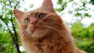 Fluffy ginger cat plays in the garden - Video