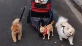 Dogs Pull A Doggy Carriage By Themselves