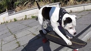 Staffy Rides A Skateboard Like A Pro - Video