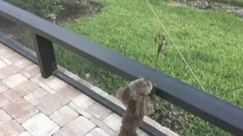 Puppy tries to catch lizard just out of reach