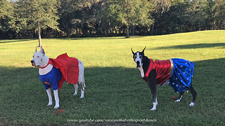 Max and Katie the Talking  Super Hero Great Danes  - Video