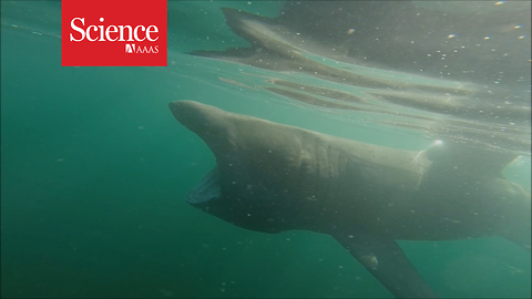 These sluggish basking sharks break through the water as quickly as great whites