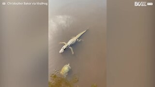 "Turtle and alligator ""high five"" each other"