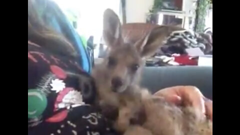 Baby Roo having a belly scritch.