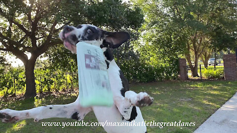Great Dane performs epic newspaper delivery zoomies