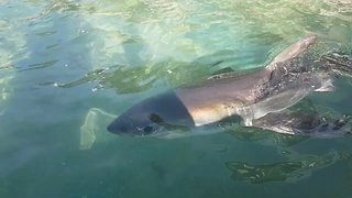 Young Great White Shark Swims in Sydney Sea Pool - Video