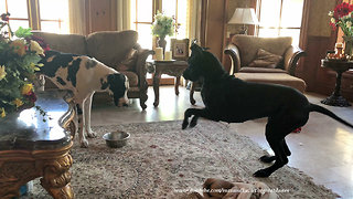 Puppy tries to ignore foot-stomping Great Dane