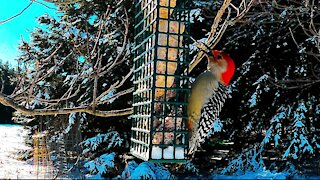 Colorful woodpecker & blue jays share feast at bird feeder
