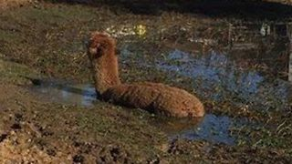 Sydney Firefighters Rescue Pet Alpaca From Mud