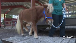 Miniature horse therapy program coming to Collier County