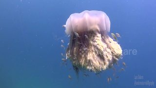 Lion's mane jellyfish performs majestic dance - Video