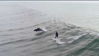 Surfer shares wave with dolphins