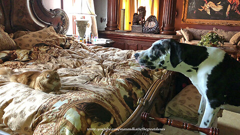 Funny Cat Refuses to let Great Dane Puppy on to the Bed
