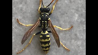 The world's biggest wasp trying to get in house