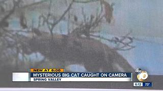 Mysterious big cat caught on camera