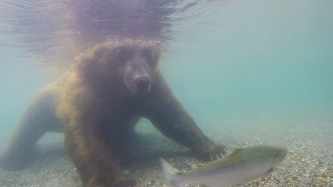 Fishing with bear-hands – bear hauls Salmon from river with paws