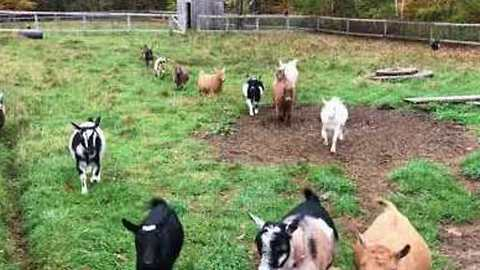 Breakfast Time for Delightful Hungry Goats