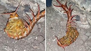 Centipede Mother Hugs Newborn Babies