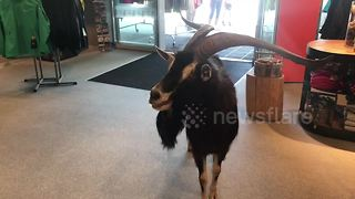 Wild goat walks into sports store to cool off - Video