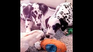Dalmatians play with their cockatoo best friend