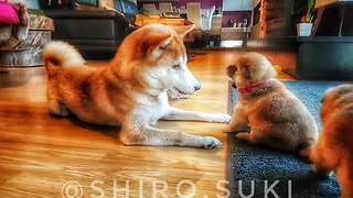 Shiba Inu mom plays with her puppies