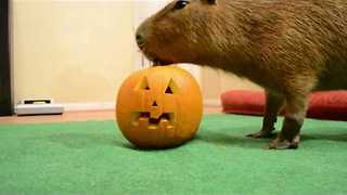 Curious Capybara Goes to Town on Jack-O'-Lantern - Video