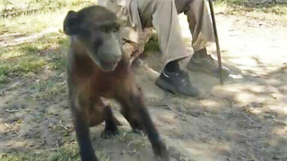 Rescued baboon recovering from being abused as a baby