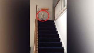Puppy Hears Kids Screaming Downstairs, Conquers Fear Of Stairs To Help Them  - Video