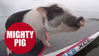 Meet the sporty pot-bellied pig with an incredible talent for SURFING - Video
