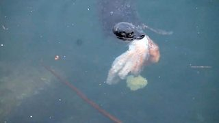 Hungry seal devours octopus  - Video