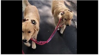 Sweet Pups Hold Each Other's Leash During Their Walk - Video