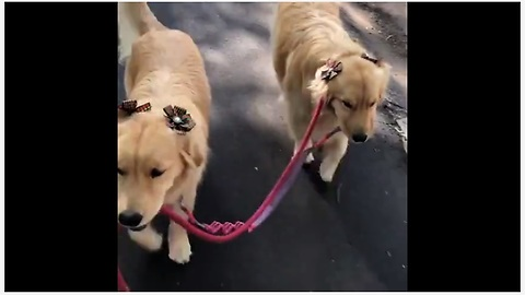 These Dogs Hold Each Other's Leashes During Their Walk!