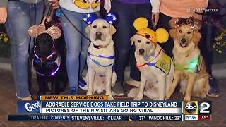 Service dogs take adorable field trip to Disneyland - Video