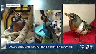 Oklahoma wildlife impacted by winter storms