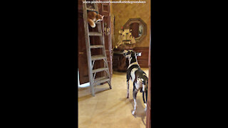 Great Dane Watches Funny Cat Creatively Climb Down A Ladder