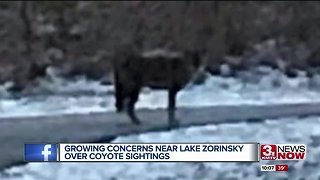 Growing concerns over coyotes near Lake Zorinsky