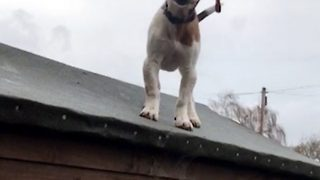 Cunning pup refuses to come down form shed roof - Video