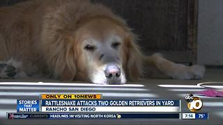 Rattlesnake attacks two Golden Retrievers in yard - Video