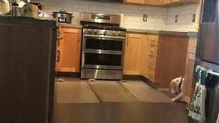 Clever Dog Will Stop At Nothing To Climb Kitchen Counter