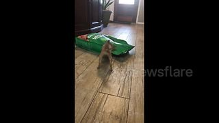 Never give up: Tiny Chihuahua attacks bag of food, 15 times its size