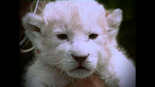 6 Baby White Lions - Video