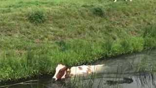 Cow Shows Off Impressive Swimming Skills - Video