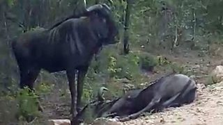 Incredibly bizarre moment blue wildebeest fakes death to avoid mauling,before springing back into life - Video