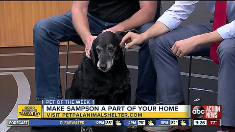 Pet of the week: Sampson is a Labrador Retriever mix who loves scratches behind his ears