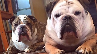 Compassionate Bulldog Barks At TV To Protect Actor From Bear Attack - Video