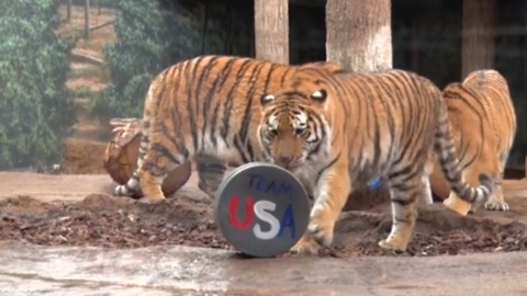 Milwaukee County Zoo Tigers Get in Olympic Spirit to Support US Women's Hockey Team
