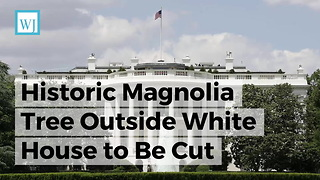 Historic Magnolia Tree Outside White House to Be Cut Down, and Melania Trump Is Being Blamed - Video