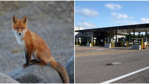 A Fox Crossed The Canada-US Border For 'Essential Reasons' & The Photo Is Everything