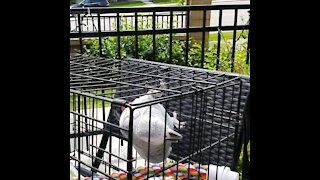 Upside down African Grey Parrot