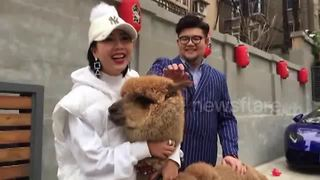 Woman takes pet alpaca for a walk in town